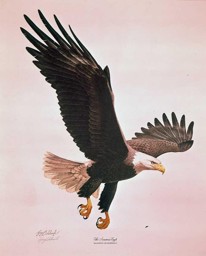 """American Eagle"" (VP Gift)   -  28"" x 24"" ""American Eagle"" (VP Gift)  Birds of Prey  Raptors"