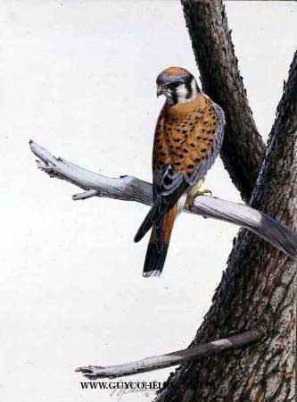 """American Kestrel""  -  20"" x 16"" ""American Kestrel""  Birds of Prey  Raptors"