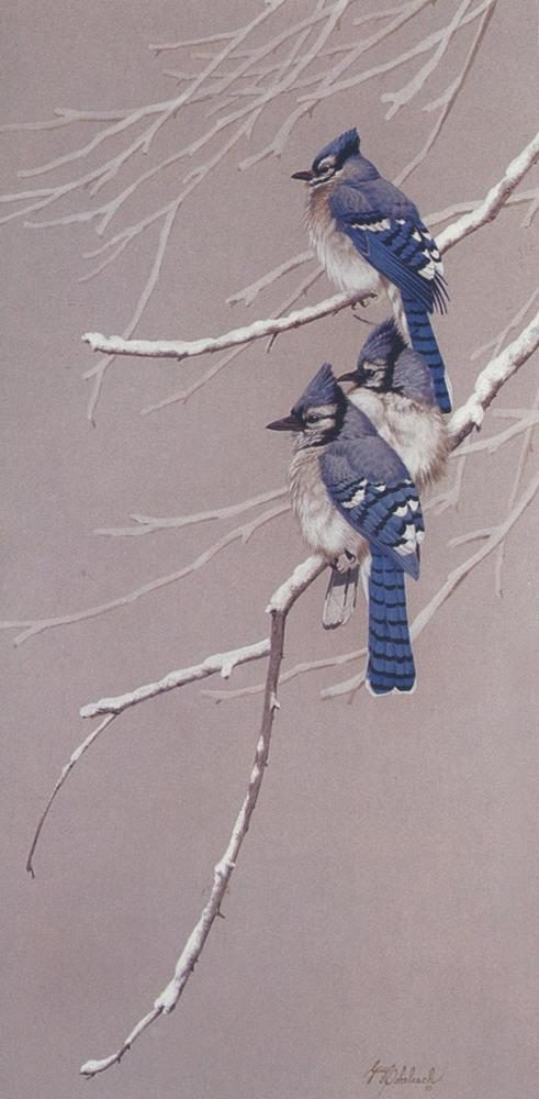 """Blue Jay - Blue Grey""  -  30"" x 15"" ""Blue Jay - Blue Grey"" - Birds  Song Birds  Game Birds"