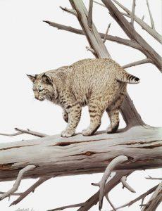 American Big Cats