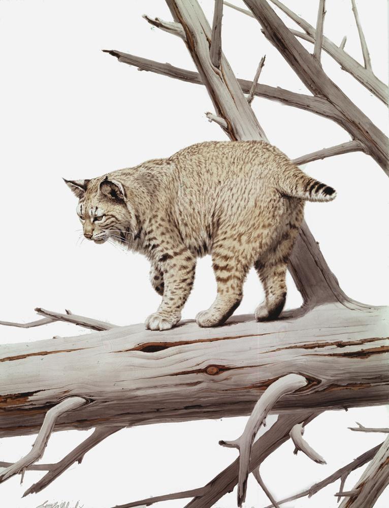 """Bobcat""  -  40"" x 30"" ""Bobcat"" - American Cats  American wild cats  Wild Felines of America"