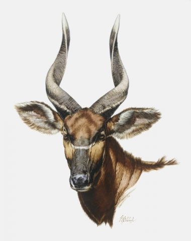 """Bongo Head""<BR>28 X 20 ""Bongo Head"" - African Game  African Game Paintings  Plains Game Art"