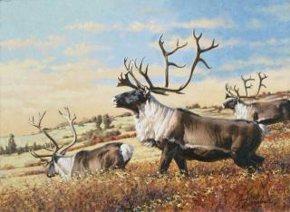 """Caribou""  -  18"" x 22"" ""Caribou"" - American Game  American Big Game  American Prey Animals"