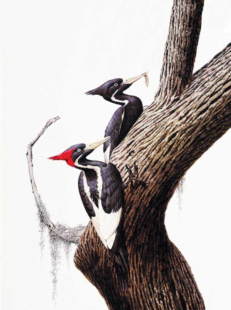 """""""Ivory Billed Woodpecker""""  -  22"""" x 30"""" """"Ivory Billed Woodpecker"""" - Birds  Song Birds  Game Birds"""