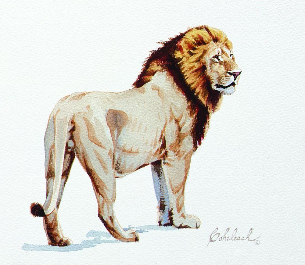 """""""Lion Water color sketch""""  -  8"""" x 9"""" """"Lion Water Color Sketch"""" - Lions  Lion Art  Lion Paintings"""