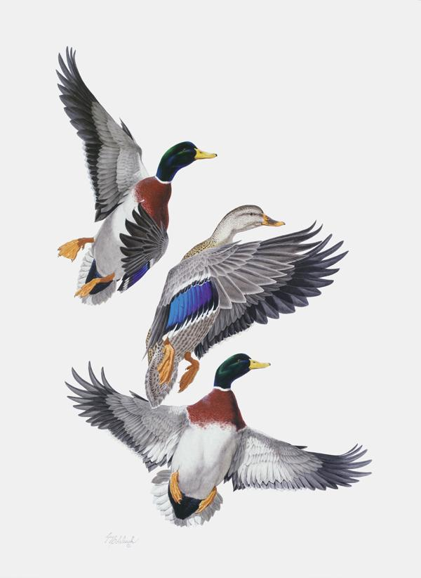 """Mallards""  -  36"" x 28"" ""Mallards"" - Water Birds  Waterfowl Paintings  Waterbird Paintings"