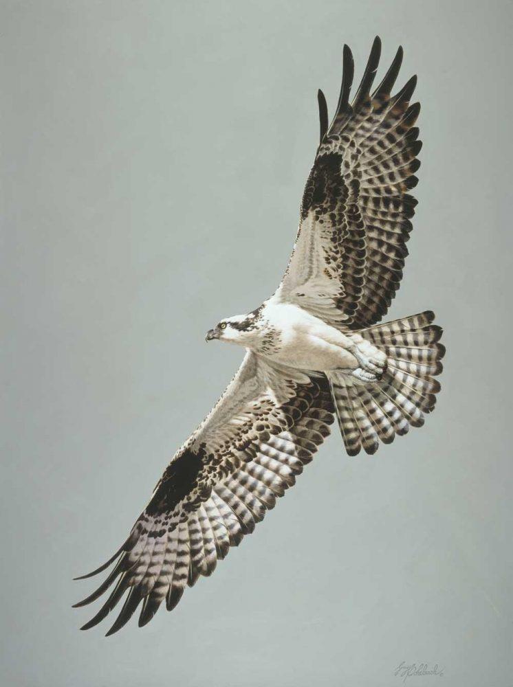 """""""Osprey""""  -  40"""" x 30"""" """"Osprey""""  Birds of Prey  Raptors"""