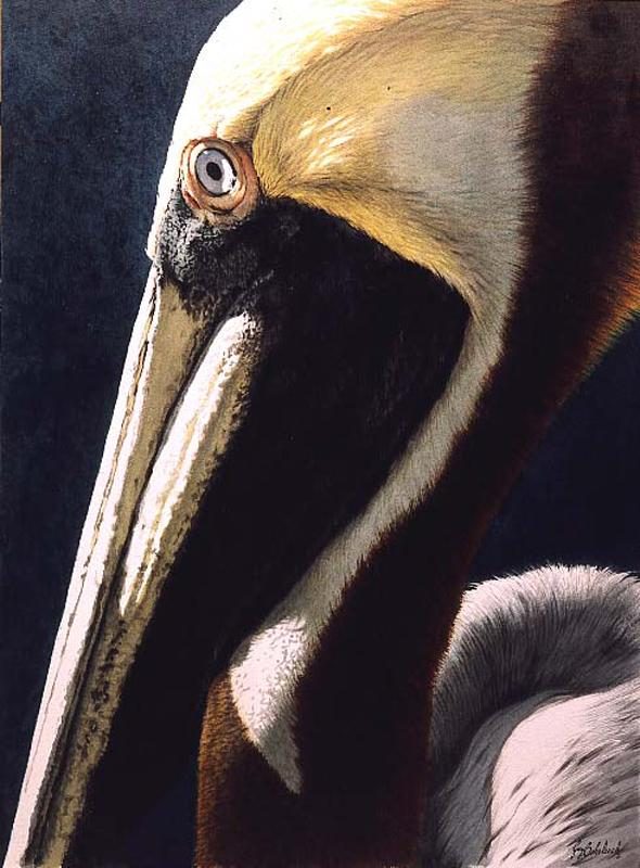 """Pelican Portrait""  -  30"" x 20"" ""Pelican Portrait"" - Water Birds  Waterfowl Paintings  Waterbird Paintings"