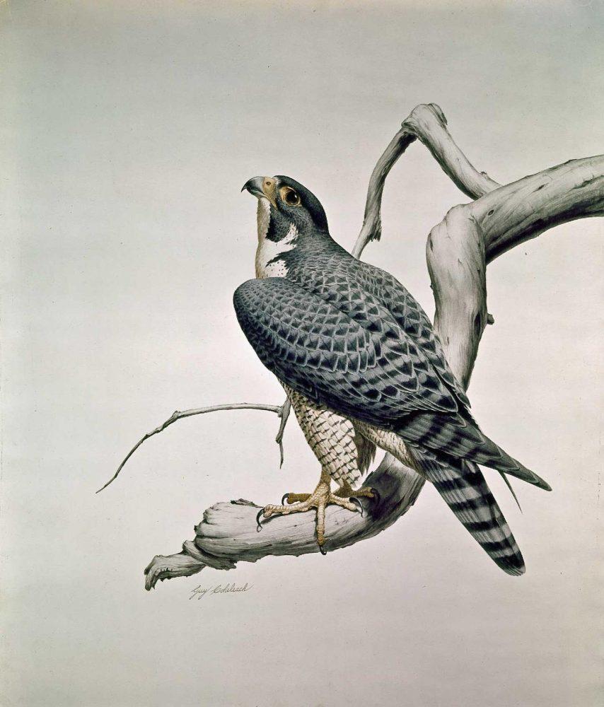 """""""Peregrine Falcon""""  -  32"""" x 27"""" """"Peregrine Falcon""""  Birds of Prey  Raptors"""
