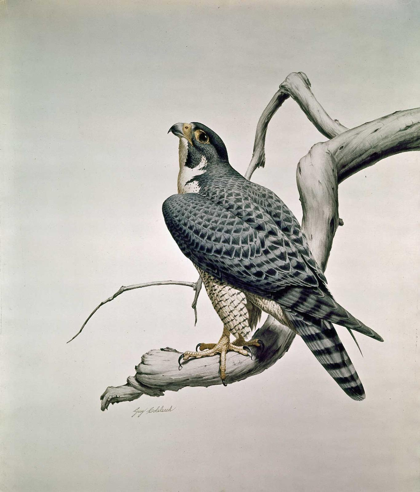 """Peregrine Falcon""  -  32"" x 27"" ""Peregrine Falcon""  Birds of Prey  Raptors"