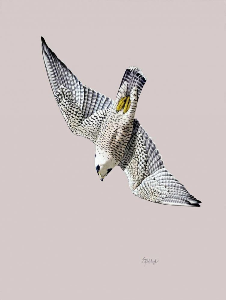 """Peregrine Stoop""  -  26"" x 14"" ""Peregrine Stoop""  Birds of Prey  Raptors"