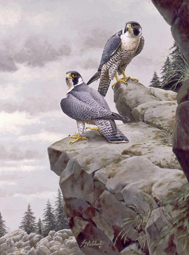 """Peregrine's Return""  -  40"" x 30"" ""Peregrine's Return""  Birds of Prey  Raptors"
