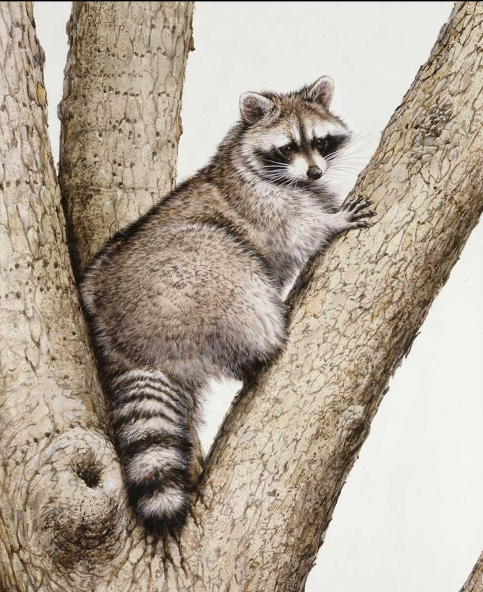 """""""Raccoon, Boar""""  -  30"""" x 40"""" """"Raccoon, Boar"""" - Critters  Small Game Paintings  Small Animals in Art"""