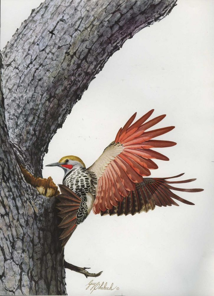 """Red Shafted Flicker""  -  16"" x 20"" ""Red Shafted Flicker"" - Birds  Song Birds  Game Birds"