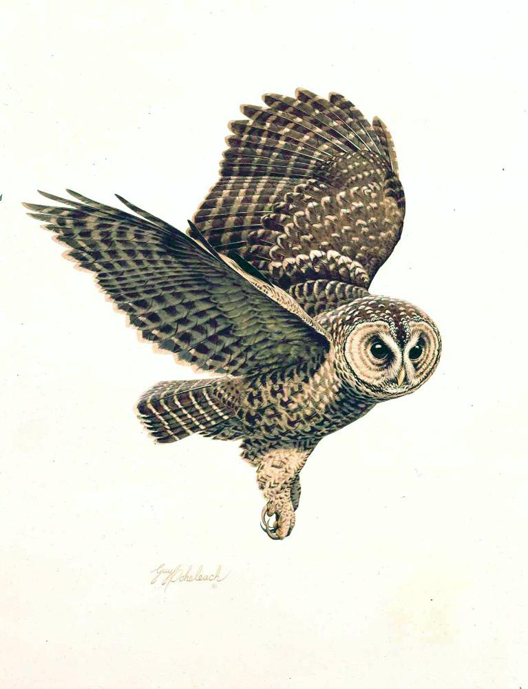 """""""Spotted Owl""""  -  26"""" x 20"""" """"Spotted Owl"""" - Owls  Owl Paintings  Owl Artwork"""