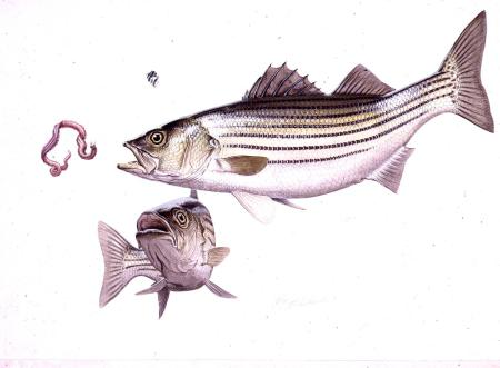 """Striped Bass""  -  16"" x 24"" ""Striped Bass"" - Misc  Art  Paintings"