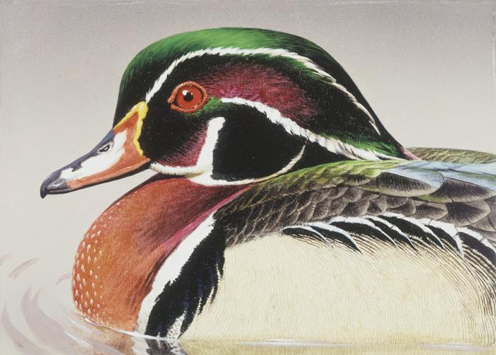 """Wood Duck""  -   5"" x 7"" ""Wood Duck"" - Water Birds  Waterfowl Paintings  Waterbird Paintings"